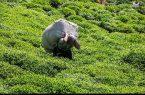 جزئیات تأمین، توزیع و تنظیم بازار چای اعلام شد