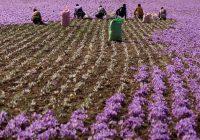 ۹۴درصد زعفران دنیا در ایران کشت میشود ولی دنیا «زعفران ایران» را نمیشناسد
