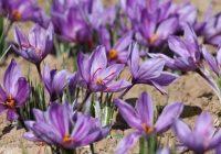 ایران بالاترین سرانه مصرف زعفران در دنیا را دارد